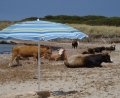 Vaches  la plage !